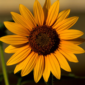 Flower by Tahir Sultan - Flowers Flowers in the Wild ( #flower, #nikon, #sunflower, #pixato, #singalflower,  )