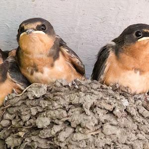 Barn Swallows-12.jpg