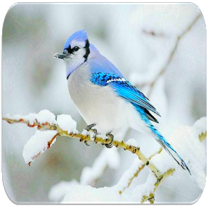 Download Blue Jay bird sounds For PC Windows and Mac