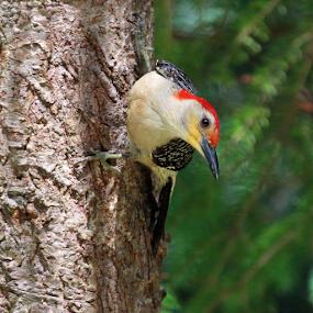 Red-bellied woodpecker by Skip Spurgeon - Animals Birds ( red, white, bird, black, woodpecker, red-bellied, male )