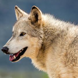 Gray Wolf by Dave Lipchen - Animals Other Mammals ( gray wolf )