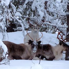 Nyfikna renar by Birgith Haraldsson - Animals Other