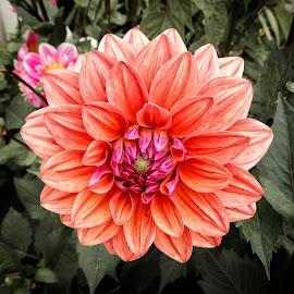 Dahlia 1 by Richard Michael Lingo - Flowers Single Flower ( orange, petals, bloom, flowers, garden )