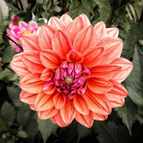 Dahlia 1 by Richard Michael Lingo - Flowers Single Flower ( orange, petals, bloom, flowers, garden,  )