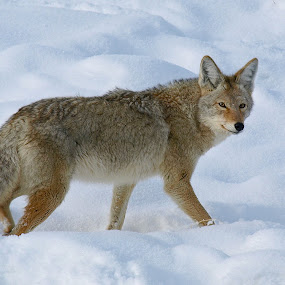 Yellowstone Coyote II by Diana Treglown - Animals Other Mammals