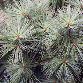 Pine Tree by MaryKathryn Zuza - Nature Up Close Trees & Bushes ( pines, tree, pine tree, green, soft pine )