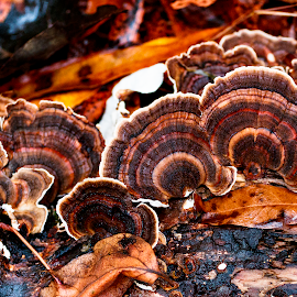by Kimberly Sharp - Nature Up Close Mushrooms & Fungi ( november, nature, nature up close, nature photography, nature close up, fungus, turkey tail fungus, canon eos )