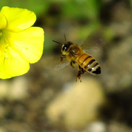 Bee by Tash Mik - Animals Insects & Spiders ( upclose, bee, nature, incects, flower, flying bee )