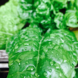 Homegrown Collard Greens by Craig Williams - Food & Drink Fruits & Vegetables ( water, plant, organic, collard greens, rain )