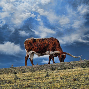 Longhorn by Jack Powers - Animals Other Mammals ( longhorn, sky, cattle, kansas, dodge city )