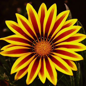 by Luz UK - Flowers Single Flower (  )