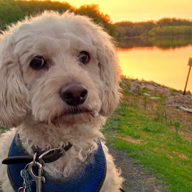 A Day by the Lake by Cecilia Sterling - Animals - Dogs Portraits (  )
