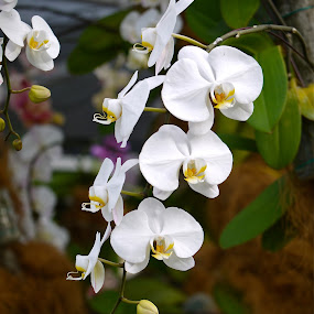 White orchids by Rozi Rahman - Nature Up Close Flowers - 2011-2013 ( white, flower )