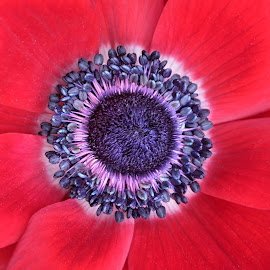 Poppy 9837 by Raphael RaCcoon - Flowers Single Flower