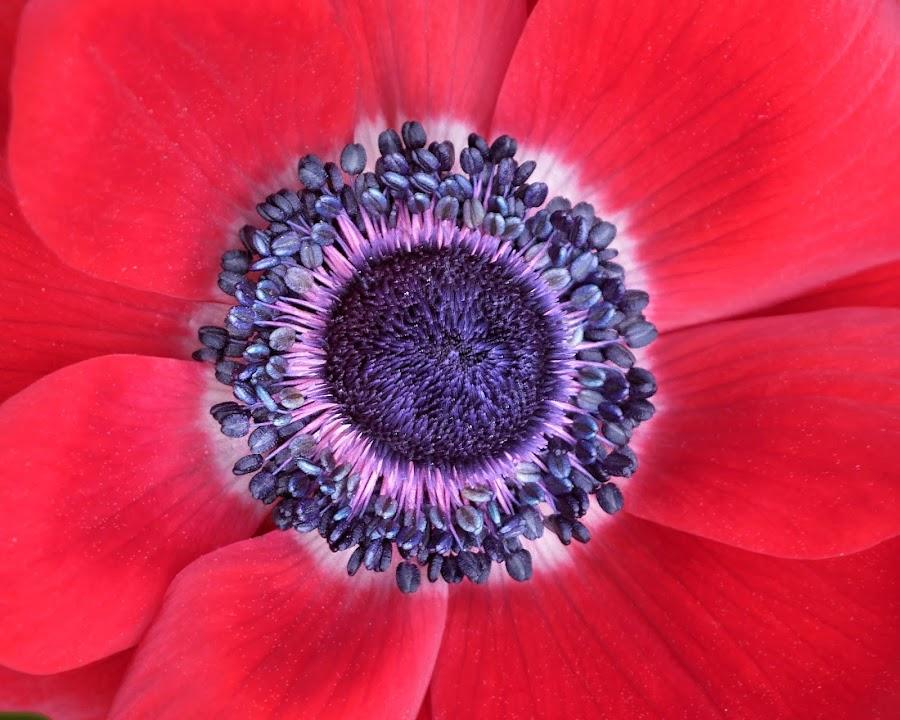 Poppy 9837 by Raphael RaCcoon - Flowers Single Flower