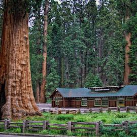 Sequoia National Park by Roy Walter - Landscapes Travel ( sequoia tree, tree, sequoia national park, travel, landscape )