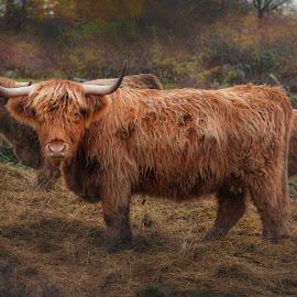 Highland Cattle by Niclas Ådemark - Animals Other