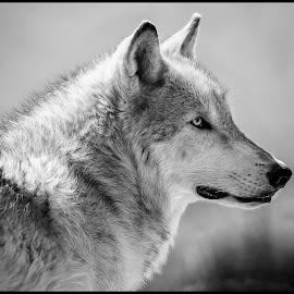 Gray Wolf by Dave Lipchen - Black & White Animals