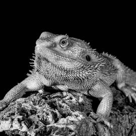 Dragon by Garry Chisholm - Black & White Animals ( bearded dragon, macro, nature, reptile, lizard, garry chisholm )