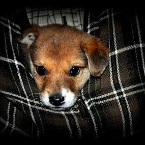 by Parvesh Rana - Animals - Dogs Puppies