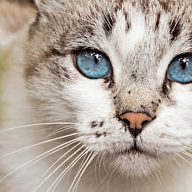 Cat look. by Miguel Silva - Animals - Cats Portraits ( cat, street, miguel silva, viseu, portugal, portrait, eyes, animal )