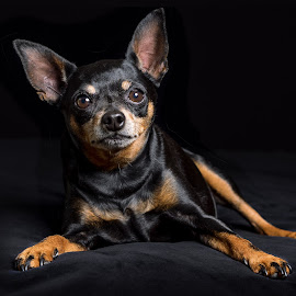 Bam by Linda Johnstone - Animals - Dogs Portraits ( black background, studio lighting, dogs, big ears, ears, small dog, black and tan )