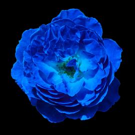 Blue Rose  by Darrell Tenpenny - Digital Art Things (  )