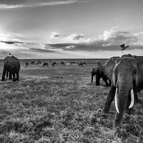 Upset mama by Jaideep Abraham - Black & White Animals ( habitat, nature, amboseli, sunset, elephant, wildlife, kenya, africa )