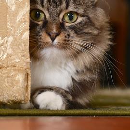 Missan by Rosita Ramner - Animals - Cats Portraits