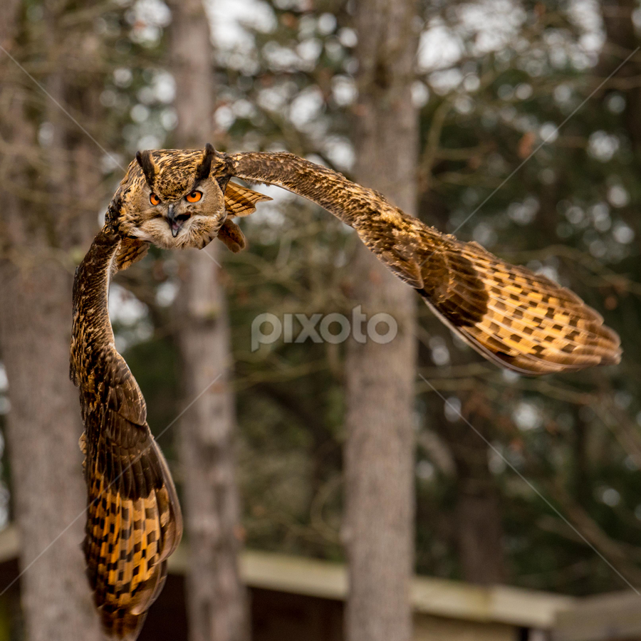 I'm Coming! by Judy Rosanno - Animals Birds ( flight, flying, bird of prey, eurasian eagle owl, owl, forest, silent flight,  )