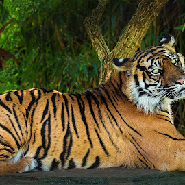 Tiger Prince by Don Stott - Animals Lions, Tigers & Big Cats ( stripes, zoo animals, yellow, black, animals, tiger, sitting )