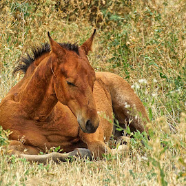 Nap time by Gaylord Mink - Animals Horses ( asleep, colt, horse, flowers )