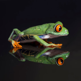 Reflections of a Frog! by Fiona Etkin - Animals Amphibians ( big eyes, nature, frog, amphibian, reflections, chilean red-eyed tree frog, animal,  )
