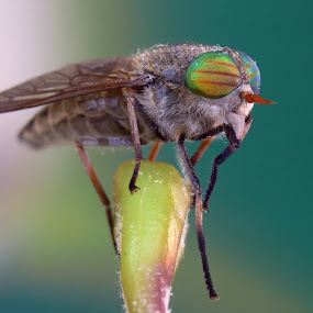 Horsefly by Reinhard Latzke - Animals Insects & Spiders ( facette eyes, colorful, fly, insect, horsefly )
