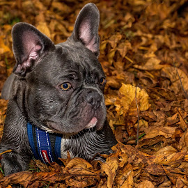 Dexter by Tony Walker - Animals - Dogs Puppies ( resting, autumn, french bulldog, puppy, leaf, leaves, dog )