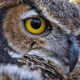 Owl Eye by Carol Plummer - Animals Birds