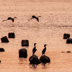 Dream to Fly by Adam dela Pedra - Animals Birds ( animals, silhouette, sunset, low light, birds )