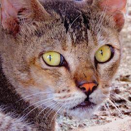 Catty by SANGEETA MENA  - Animals - Cats Portraits
