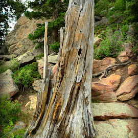 Ruined Tree by Del Candler - Nature Up Close Trees & Bushes ( mountain, stump, wood, tree, bushes, green, rocky, colorado, rocky mountain national park, decaying, rotting, weathered )