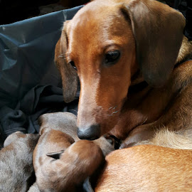 Doting Mama by Corazon Quimbo - Animals - Dogs Portraits