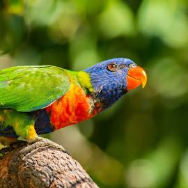 26022017_2260 by Deborah Bisley - Animals Birds ( bird, rainbow lorikeet, parrot, branch, squatting, lorikeet )