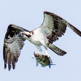 Osprey with Fish by Carl Albro - Animals Birds ( flying, fish, hawks and eagles, osprey )