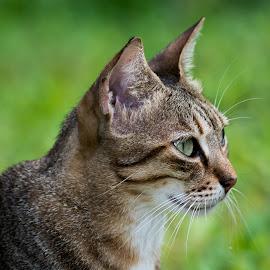 by Simona Ciglenean - Animals - Cats Portraits