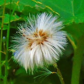 WILD FURRINESS by Wojtylak Maria - Nature Up Close Other plants ( plant, wild, green, meadow, white, furriness )