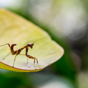 Mantis konser by Freddy Hernawan - Animals Insects & Spiders ( freddy hernawan, mantis, makro )