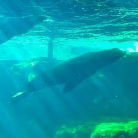 2 Seals Swimming  by Stephen Schwartzengraber - Animals Sea Creatures ( cool, seals, underwater, california, swimming )