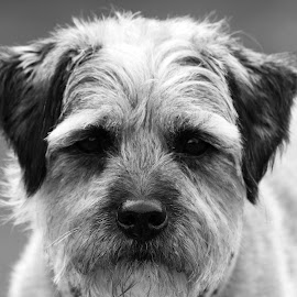 Terrier  by Jenna Keyes - Animals - Dogs Portraits ( pet, terrier, head, border, mono )