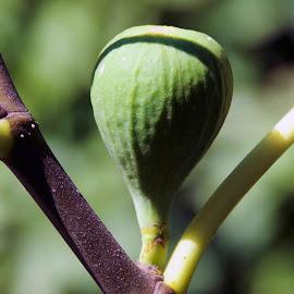 fig on tree by LADOCKi Elvira - Nature Up Close Trees & Bushes