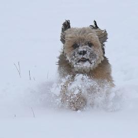 Ari by Blaz Crepinsek - Animals - Dogs Running