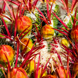Red Barrel Cactus by Dave Lipchen - Nature Up Close Other plants ( red barrel cactus )